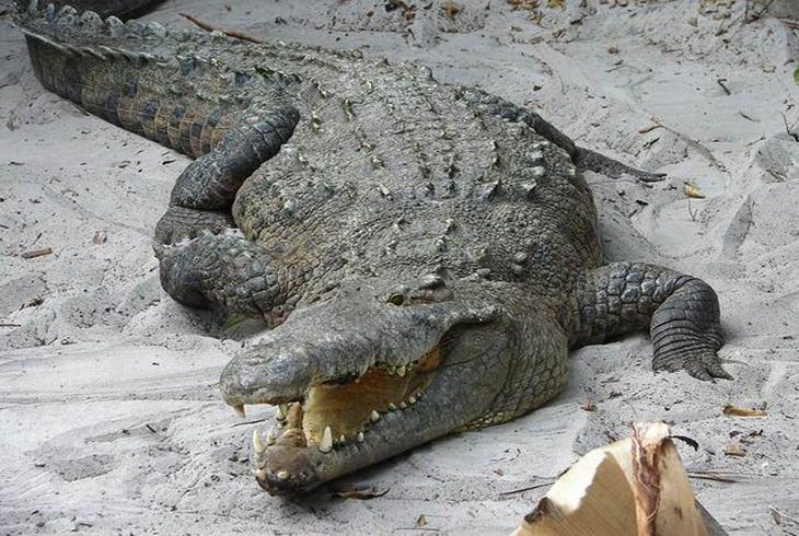 0_new Alligator