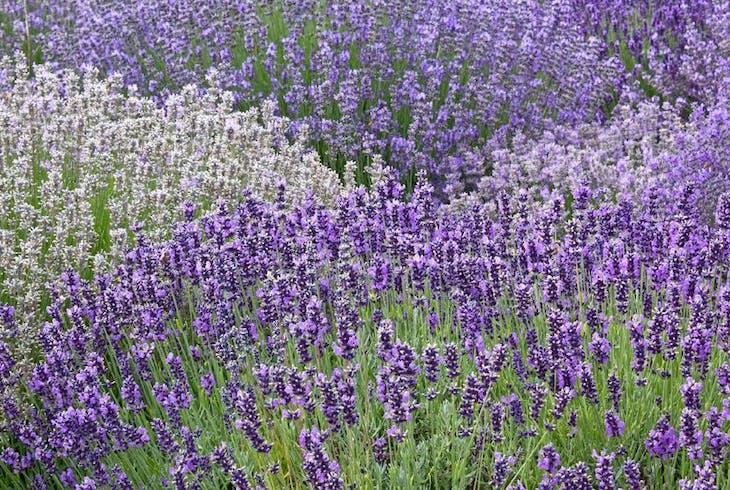 0_new Haleakala Lavender Fields