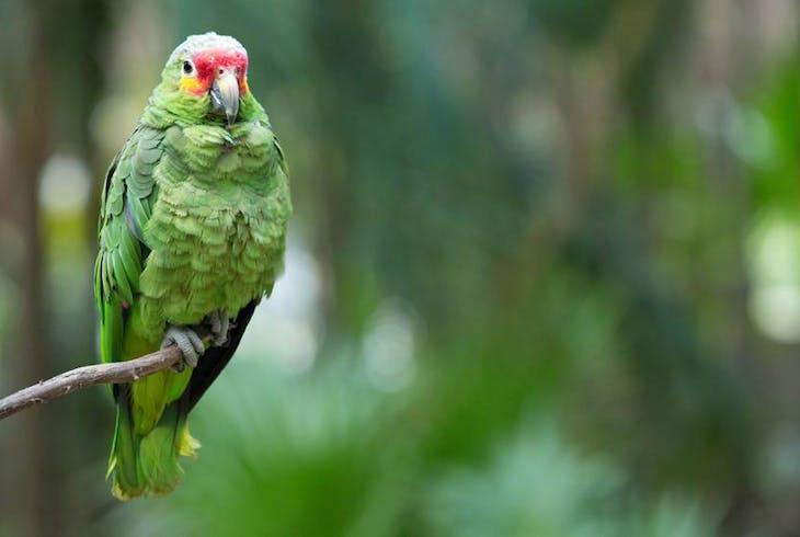 0_new Telegraph Hill Green Parrots