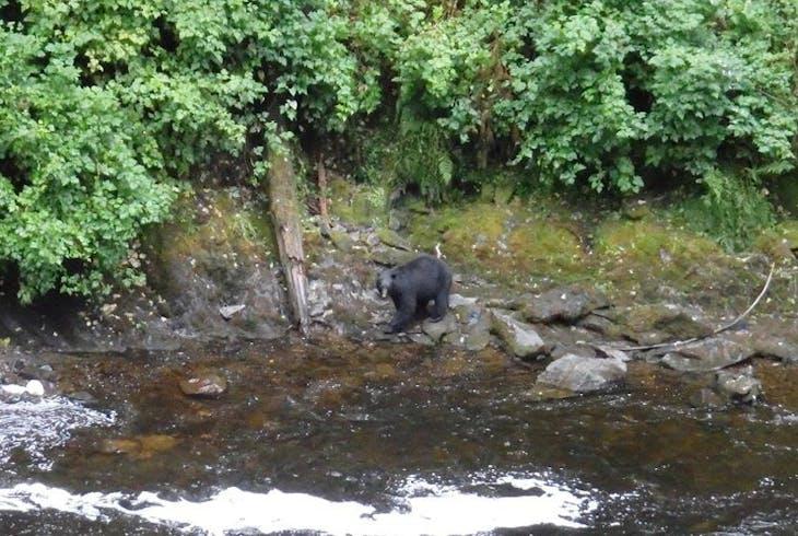 Alaska Hummer Black Bear