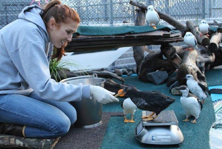 Alaska Sealife Center Puffin Encounter