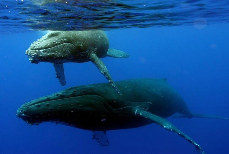 Hilo Ocean Adventures Humpback Whale Exploation