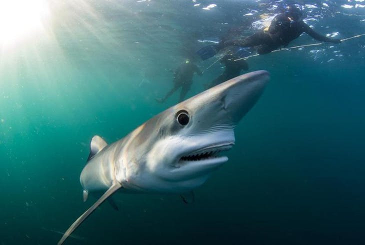 SD Expeditions Blue And Mako Shark Diving