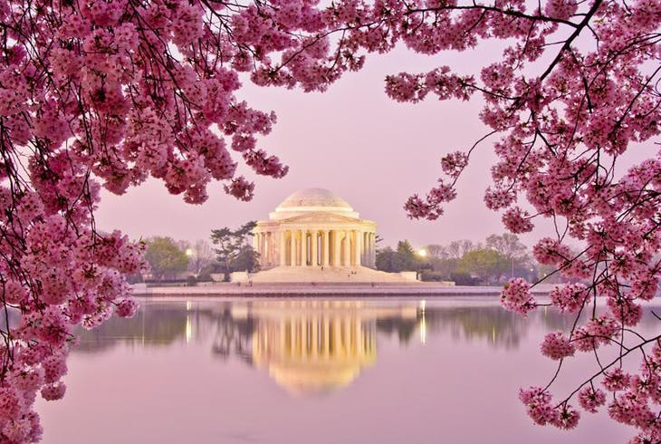 Cherry Blossoms Dc
