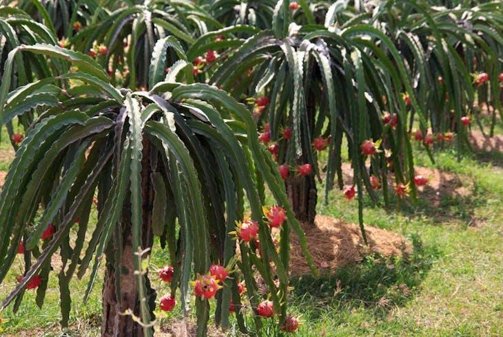 Dragon Fruit Farm