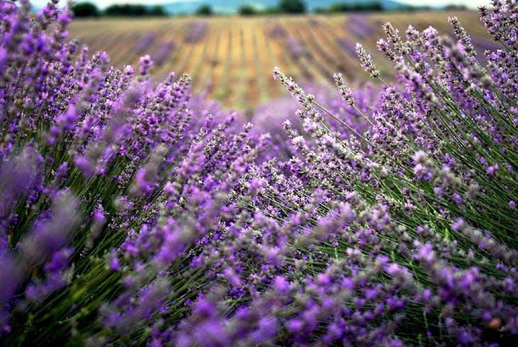 Haleakala Lavender Fields