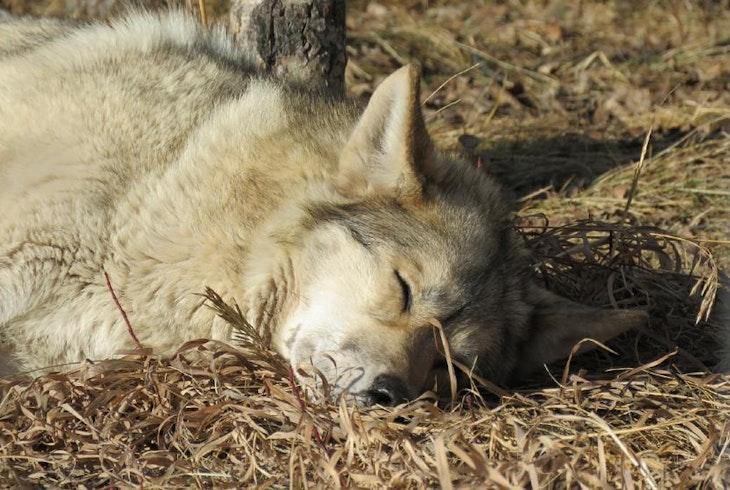 Hike Wolf