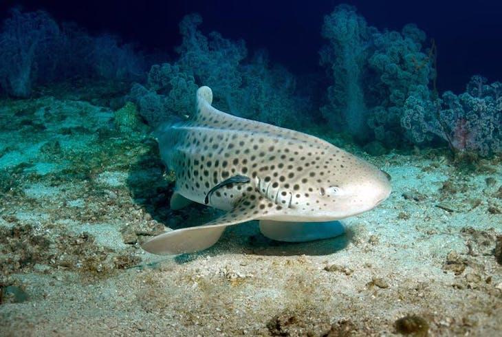 Leopard Shark Snorkeling