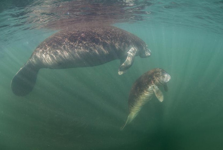 Manatee Swimming
