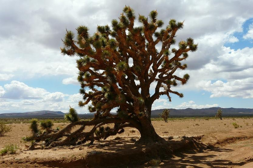 what makes the mojave desert unique Massive san bernardino county covers 20,000 miles of the california desert,  many species of unique  it also makes stops in the mojave desert.