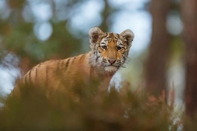 portland-tiger-vimbly