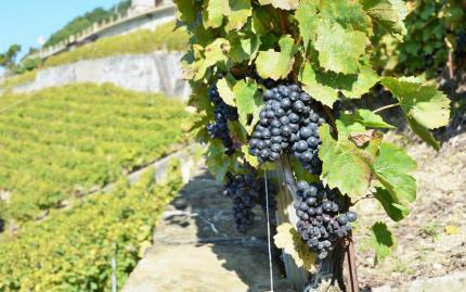 0_new Vineyards