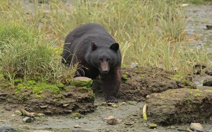Alaska Amphibious Tours Expedition Black Bear
